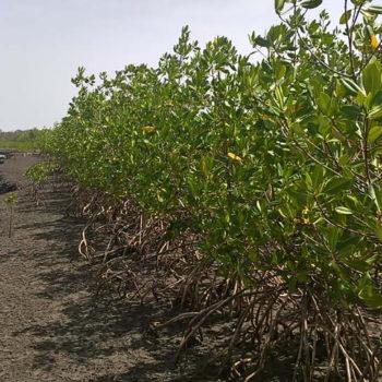 Sankandi Community mangrove forest // Ansumana Darbo // Gambia
